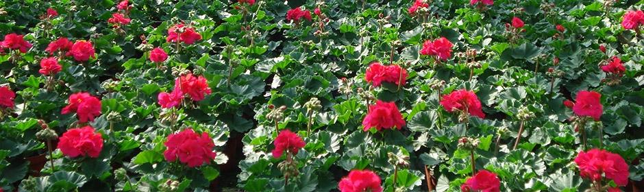 Geraniums veld